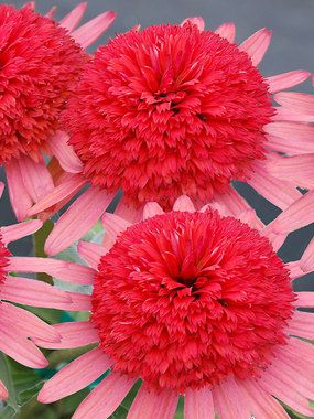 """Echinacea Secret Passion New Item  Coneflower  Type: Perennials  Height: Medium 18-24"""" (Plant 3' apart)  Bloom Time: Summer to Early Fall  Sun-Shade: Full Sun to Mostly Sunny  Zones: 4-9   Find Your Zone  Soil Condition: Normal, Acidic, Clay  Flow"""