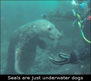 Everything on the Internet is true (28 Photos) : theCHIVE: Seal Gif, Seals, Dog Mermaids, Animals, Mer Dogs, Pet, Underwater Dogs, Gifs