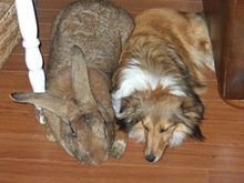 Flemish Giant Rabbits: Animals, Dogs, Friends, Rabbits, Pets, Flemish Giants, Bunnies, Flemish Giant Rabbit