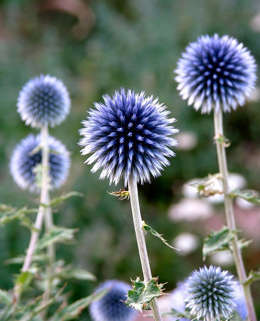 Globe thistle: Using architectural plants in your garden: Globes, Thistles, Garden Globe, Garden Ideas Plants, Thistle Plants, Blue Globe Thistle, Architectural Plants, Garden Plants