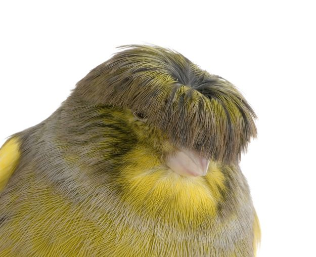 (gloster canary) ahahaha it looks like it's wearing a mop on its head!: Bowl Cut, Patio Furniture, Birds بيردس, Blooms Birds, Interesting Thing, Gloster Canary, Beautiful Birds, Modern Patio