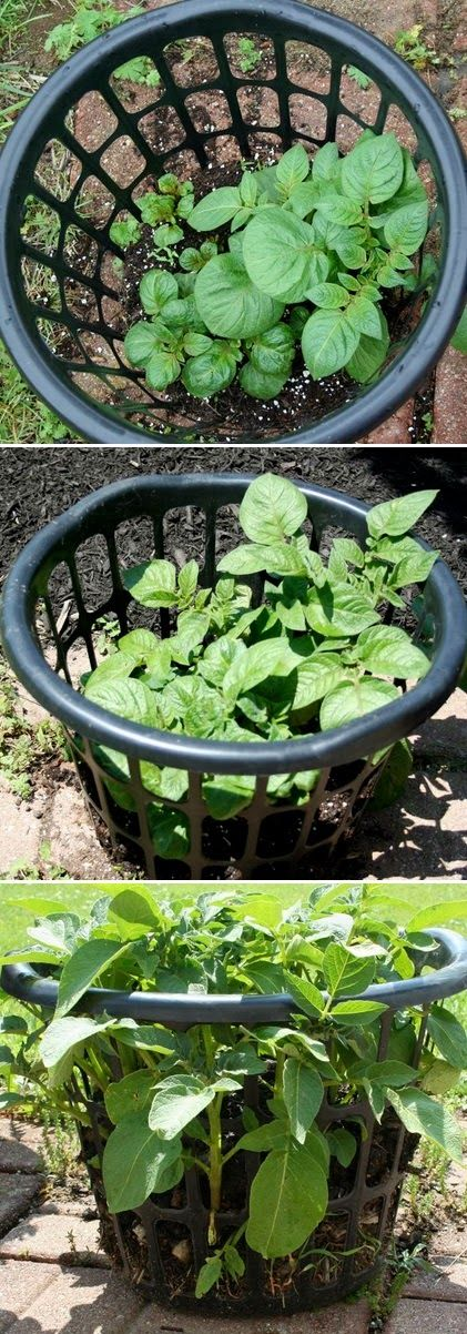 Growing potatoes in a laundry basket - seems like an interesting $1.00 experiment.: Alternative Gardening, Green Thumb, Grow Potato, Laundry Baskets, Growing Potatoes