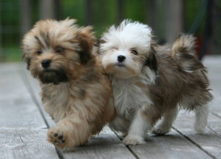 Havanese - dogs that don't shed and are cute!: Dogs Breeds That Dont Shed, Havanese Pups, Animals, Puppys, Sheds, Dogs That Dont Shed, Havanese Puppies, Don T, Havanese Dogs