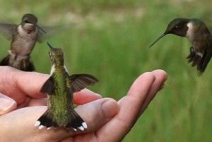 How to attract Hummingbirds to your Garden. I used to have them at my kitchen window all the time.: Hand, Animals, Humming Birds, Kitchen Window, Gardening Outdoor, Hummingbirds