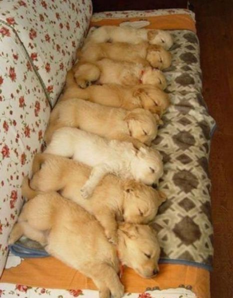 I bet placing them one by one was fun. How did the puppies just stay this way? Sleeping drugs.....: Animals, Puppies, Sweet, Dogs, Golden Retrievers, Pets, Puppys, Adorable