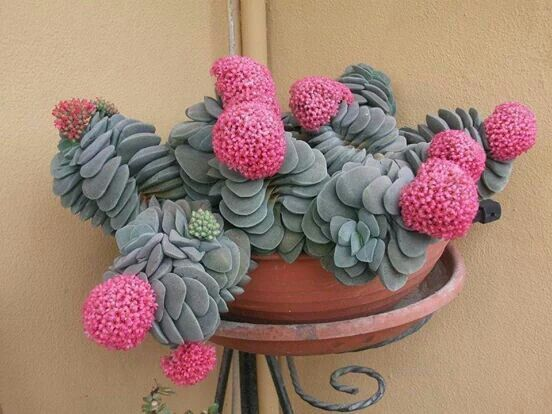 Interesting flower as well as plant. The only way I could have succulents is to be able to take them inside for the winter months.: Succulents Cactus, Succulents Garden, Cactus Succulents, Crassula Succulent, Pink Succulents, Plants Succulents, Cacti Succ