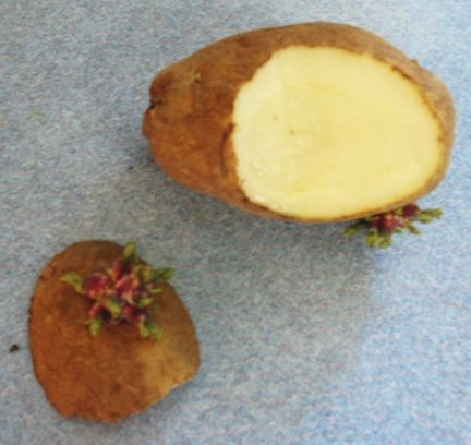 Keep a potato around until some eyes start growing on it. Slice a piece of the potato off where the eye is, and put it in a cup with water covering the potato, but not the eye. Soon, you'll have a potato plant sprouting up and you can plant it in the