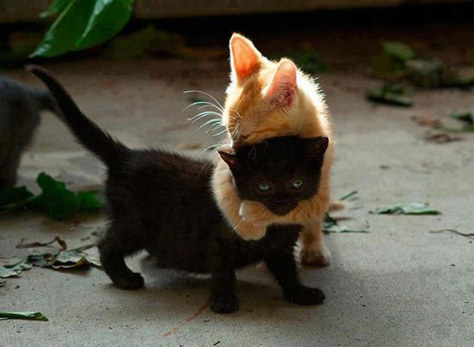 """Kitten """"Hug"""".... (Though being playful kittens, we all know this isn't really a hug at all... It's a playful ninja choke hold!): Animals, Black Cats, Funny, Kittens, Kitty, Blackcat, Friend, Bad Luck"""