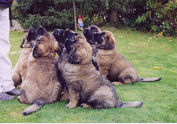 Leonberger puppies - I think I might want one?: Leonbergers ️, Animals, Leonberger Dogs, Leonberger S, Puppys, Leonberger Puppy, Leonberger Dog Puppy, Leonberger Puppies Excuse