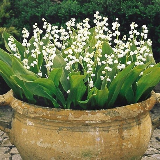 Lily Of The Valley  best contained in a pot, but so pretty and fragrant: Container Gardens, Idea, Can, Lily, Lilies, Outdoor, Container Gardening, Favorite Flower