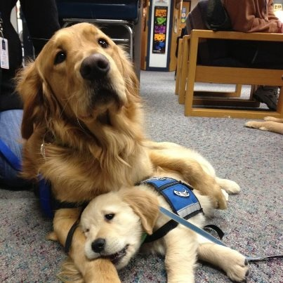 Luther Comfort Dog and Isaiah Comfort Dog (In Training). [Lutheran K-9 Comfort Dogs in Newtown, CT]: Animals, Dogs, Golden Retrievers, Pet, Puppy, Friend