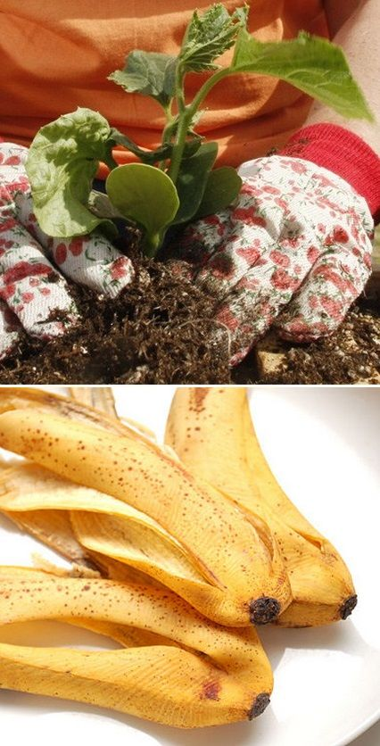My mother in law always did this, I though it was the chemicals in the peel that made it work so well. Just flatten a banana peel and bury it under one inch of soil at the base of a rosebush. The peels potassium feeds the plant and helps it resist disease