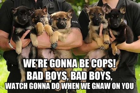 Now if we could see the men holding the cuties!: Bad Boys, Animals, Dogs, Cops, Funny, German Shepherds, Puppy