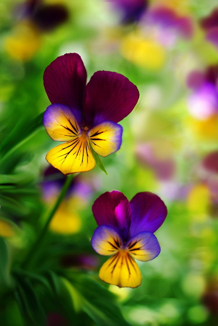 Pansy!  Accent Flowers & Gifts in Waterford, MI is the BEST florist in Oakland county for SO many reasons!  Call (248) 461-6941 or visit our website www.aaflowershop.com to see what we are all about and to place your order!: Nature, Color, Johnny Jump