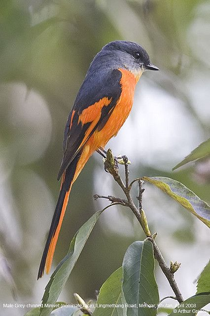 Pericrocotus solaris - Grey-chinned Minivet. Order: Passeriformes Family: Campephagidae Genus: Pericrocotus Species: P. solaris Binomial name Pericrocotus solaris Blyth, 1846. is a species of bird in the Campephagidae family. It is found in Bangladesh, Bh