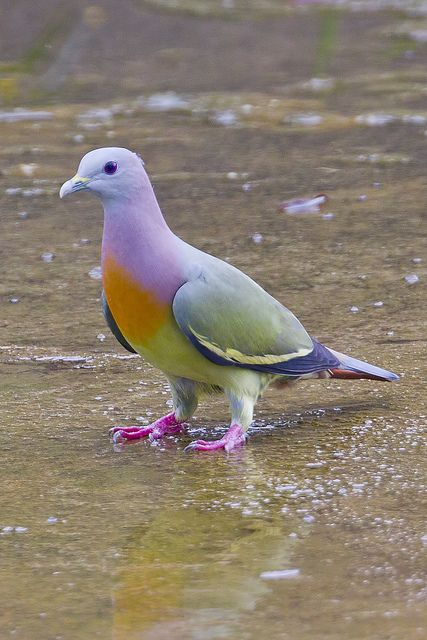 Pink-necked Green-pigeon Male BP_29012012_001 by Chong Lip Mun, via Flickr: Animals, Nature, Color, Green Pigeon, Pink Necked Green, Pinknecked, Beautiful Birds