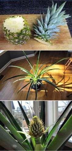 Plant the top of a pineapple in a pot and grow another: Green Thumb, Can, Houseplant, Plants, Gardening Outdoor
