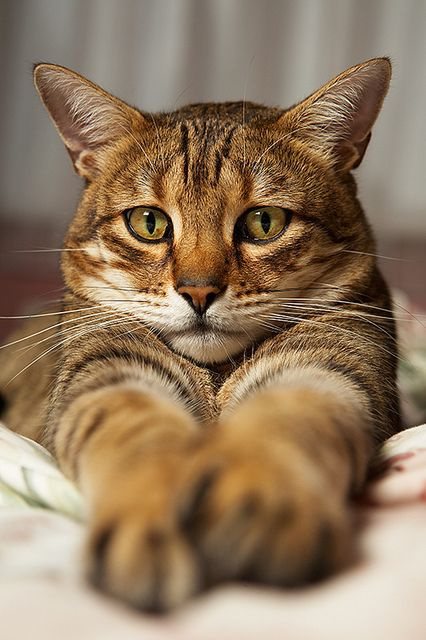 Pretty: Beautiful Cat, Kitty Cats, Bengal Cats, Animals, Cat Face, Pet, Chat, Feline
