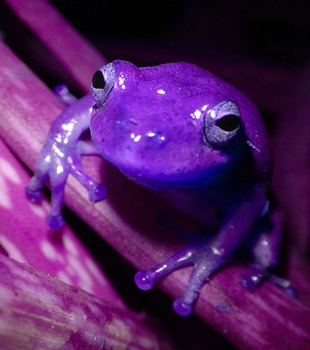 Purple frog, forever rely on God. He made this fabulous creature and you are much more!: Animals, Favorite Color, Purple Passion, Things Purple, Color Purple, Purple Haze, Purple Thing, Frogs
