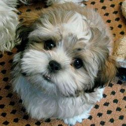 See more on Cute Little Puppy: Teddy Bear Puppies, Shihtzus, Teddybear, Teddy Bears, Pet, Puppys, Shih Tzu, Animal