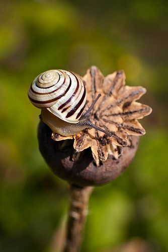 Sluggish - snail on an opium poppy??: Nature, Animal Kingdom, Snails Seashells, Shells Snails, Brown, Poppies, Animals Snails, Insects, Photo