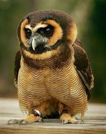 Spectacled Owl wears a mixed brown costume.: Animals, Beautiful, Birds, Woods, Brown Wood, Brownwood, Owls