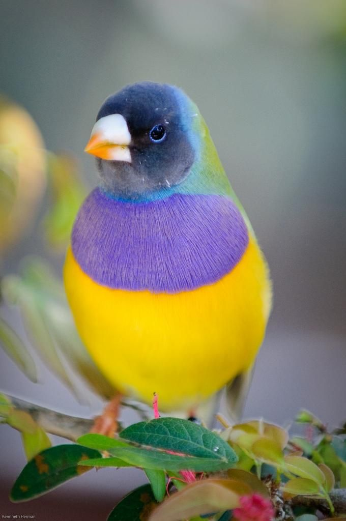 The Gouldian Finch, Erythrura Gouldiae, Chloebia Gouldiae, also known as the Lady Gouldian Finch, Gould's Finch or the Rainbow Finch.: Lady Gouldian, Animals, Nature, Beautiful Birds, Gouldian Finch