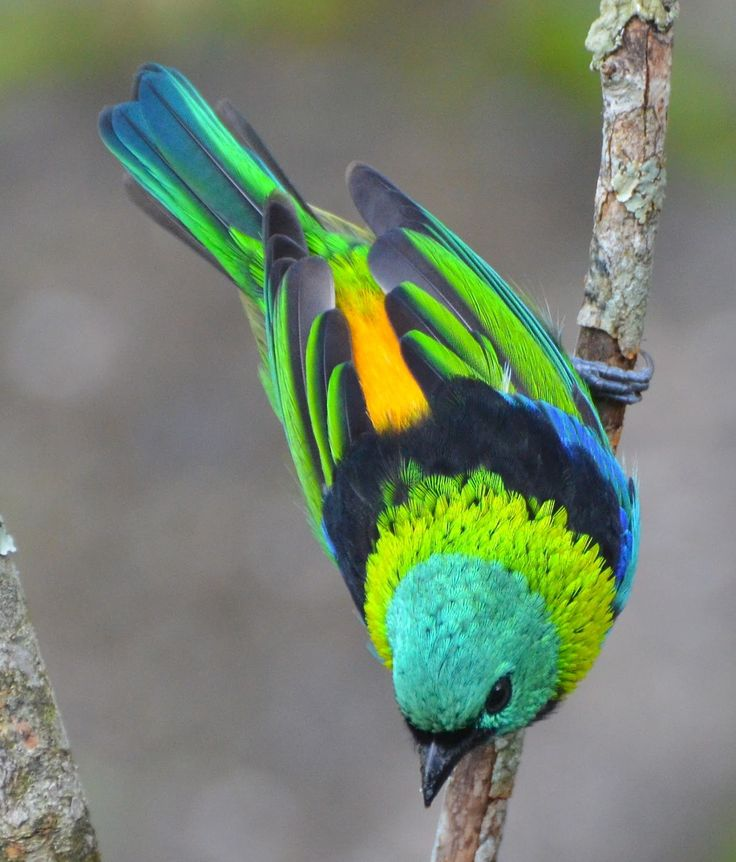 The Green-headed Tanager (Tangara seledon) is a bird found in the Atlantic forest in south-eastern Brazil, far eastern Paraguay, and far north-eastern Argentina (Misiones only).: Beautiful Birds, Photo, Animal
