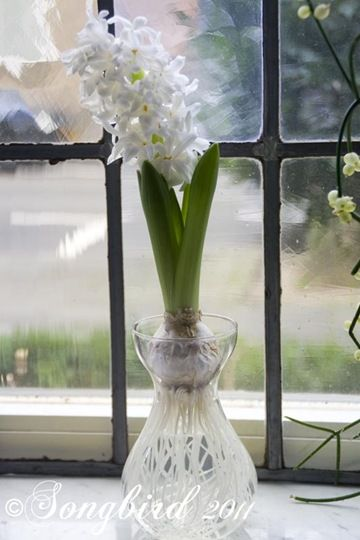 The Scent of Spring ~ Hyacinths on Water. Growing hyacinths on water is much easier than you think. See how it is done at songbirdblog.com: Bulb Gardening, Planting Flower Bulbs, Indoor Flower, Planting Hyacinths, Bulb Plants, Bulb Planting, Bulb Flower,