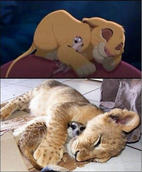 THEY'RE REAL: Lionking, Lion, Animals, Real Life, Reallife, Funny, Disney, The Lion King