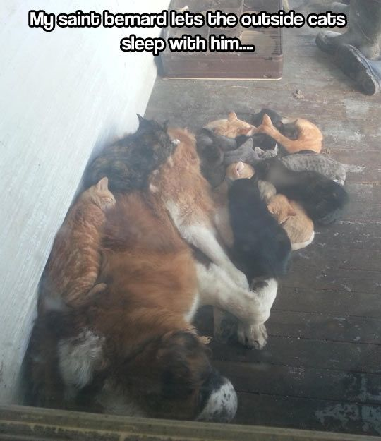 "This dog is a ""Cool Cat"". He is in my hall of coolness for his gesture to the outside cats.  Gotta love this dog!!!: Funny Animals, St Bernards, Sweet, Saint Bernards, Crazy Cat, Cats Sleep, Cats And Dogs, Cat Lady"