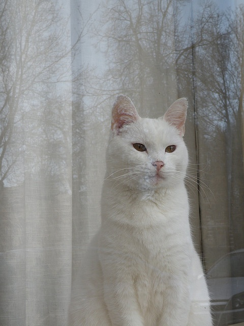 This is a Russian White just like my Zipper (blessed to have her for 10 yrs) and her son, Ziiplet (blessed to have him for 20 yrs!).: Kitty Cats, Animals, Window, Cat Whitecats, White Cats, Beautiful, Chat, Photo, Cats White