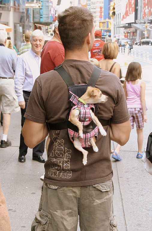 This poor dog, she would enjoy the walk.. why on earth would he wear her like this?..: Animals, Dogs, Stuff, Pet, Funny, Funnies, Things, Chihuahua