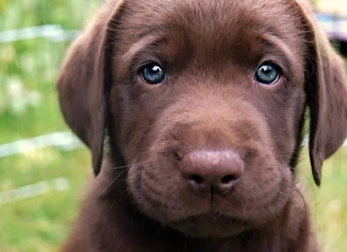 Top 5 Most Affectionate Dog Breeds: Face, Animals, Puppies, Chocolates, Dogs, Chocolate Labs, Pets, Puppys, Eyes