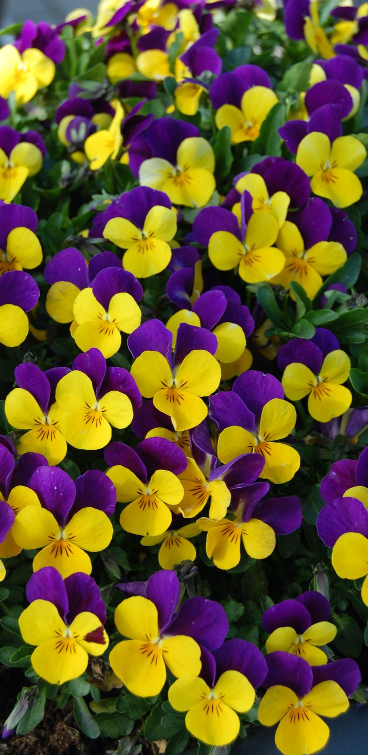 ~~Viola cornuta ~ Johnny Jump-Up, vibrant blooms are deep purple and yellow, creating a solid carpet of color for weeks: Favorite Flowers, Flores Flowers, Deep Purple, Beautiful Flowers, Pretty Flowers, Purple And Yellow Flowers, Viola Flower