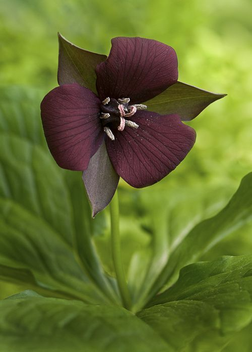 Wake-Robin Trillium erectum (purple trillium)!: Erectum Purple, Wake Robin Trillium, Color, Purple Trillium, Flowers Plants, Beautiful Flowers, Garden, Flower