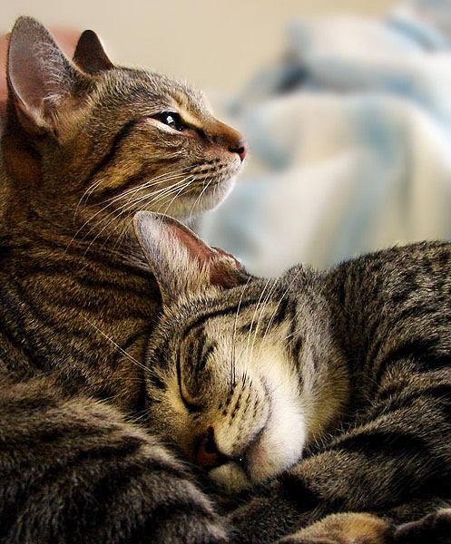 We mirror what surrounds us – and what surrounds us mirrors us; this is universal ♥: Tabby Cats, Animals, Sweet, Pet, Kitty Kitty, Chat, Kittens, Feline