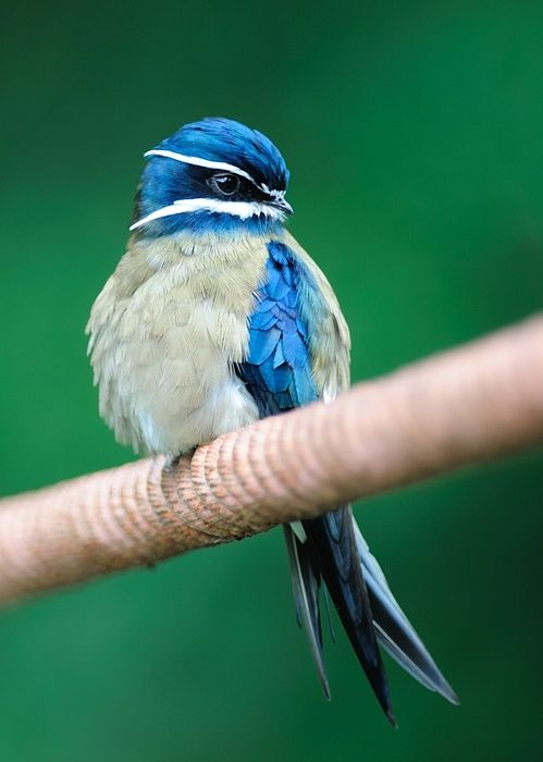 Whiskered Treeswift. Brunei/ Indonesia/ Malaysia/ the Philippines/ Singapore/ Thailand.: Animals, Poultry, Birdie, Pretty Birds, Beautiful Birds