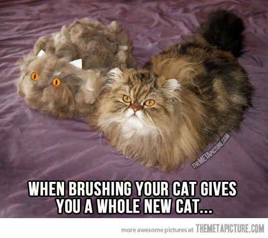 100% http://sulia.com/my_thoughts/740fd594-1d09-4c61-9bd2-5eea885cd809/?pinner=119686333: Cat Hair, Animals, Funny Cats, Funny Stuff, Crazy Cat, Funnies, Cat Lady
