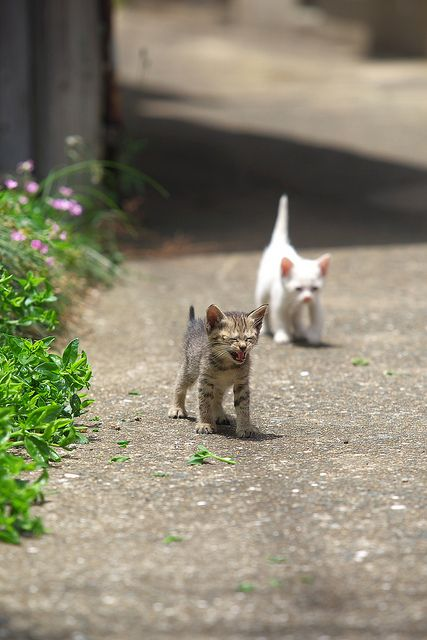 2 kittens white & tabby.              •••••(KO) Looks like the striped kitty just realized he doesn't know where he is and is about to panic. Mama cat will be nearby and hear his cry. She will carry both their fuzzy butts  home and bathe and feed