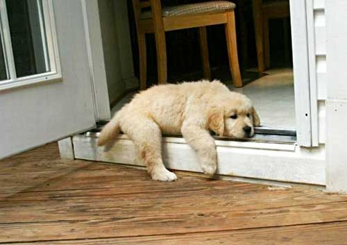 29 Puppies That Are Totally Pooped Out: Dogs, Sweet, Golden Retrievers, Cant, Puppys, Day, Animals Goldens, Friend, Golden Retriever Puppies