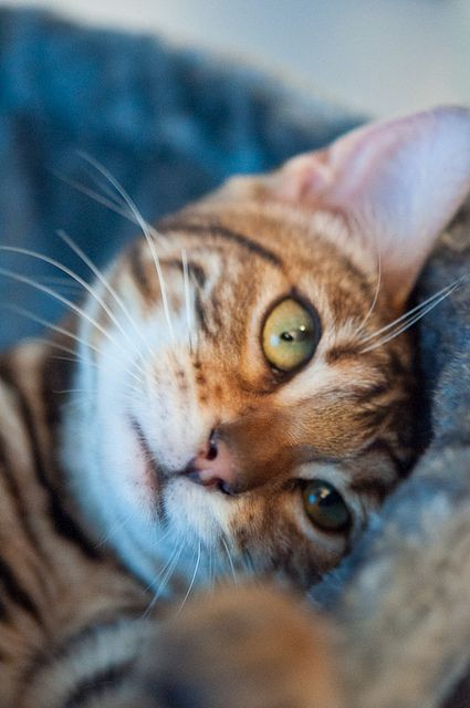 """For me, one of the pleasures of cats' company is their devotion to bodily comfort."" --Sir Compton Mackenzie: Kitty Cats, Cat Face, Tabby Cat, Beautiful Cats, Bengal Cat, Chat, Cats Kittens, Animal"