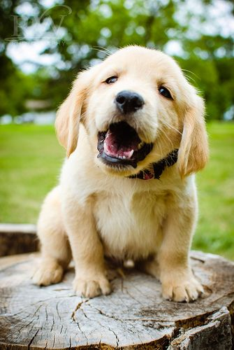 """Just listen and I will explain it to you again"".: Dogs, Golden Retrievers, Pet, Puppys, Friend, Animal, Golden Retriever Puppies"