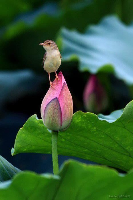 A tiny bird sits atop a delicate bud on a lovely spring morn. By power to you via flickr.: Animals, Nature, Little Birds, Beautiful Birds, Flowers, Garden, Photo, Lotus Flower