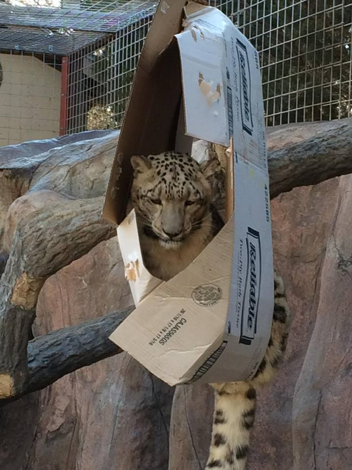 Cats are cats! And no matter what size, shape or form, they have one thing in common: they LOVE boxes!: Random Pictures, Funny Animals, Big Cats, Funny Pics, Funny Pictures, Boxes, Cat Love, Funnies, Humor