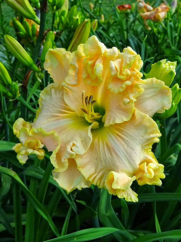cc 'Boundless Beauty' Daylily: Beauty Daylily, Gardens, Beautiful Flowers, Gardening, Day Lilies, Flowers, Flowers Daylilies