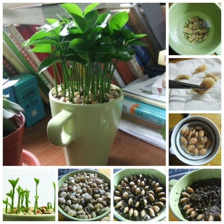 DIY How to Grow a Lemon Tree from Seed in a Pot | GoodHomeDIY.com Follow Us on Facebook --> https://www.facebook.com/pages/Good-Home-DIY/438658622943462?ref=hl: