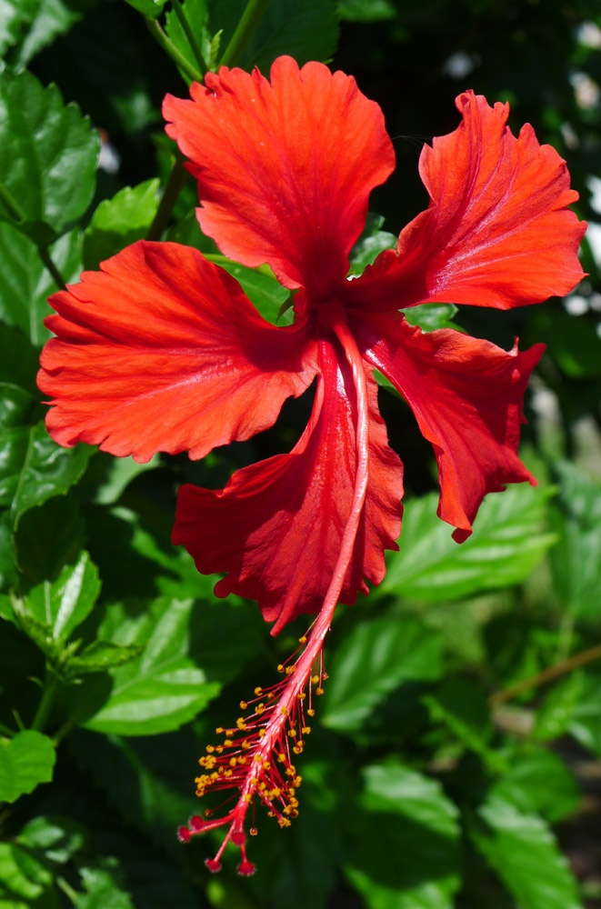 Exotic flower: Favourite Flowers, Flowers Colors, Hibiscus Flowers, Pretty Flowers, Gardening Special Flowers, Exotic Flowers, Painting Ideas Flowers