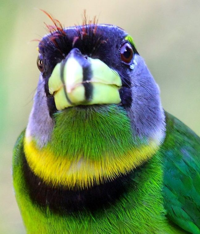 Fire-tufted Barbet (pic only) A God with a great sense of humor, and a GREAT imagination created this bird. Great colour mix and the same intensity in each colour.: Colorful Birds, Barbet Birds, Creatures, Fire Tufted Barbet, Amazing Birds, Beautiful Bird
