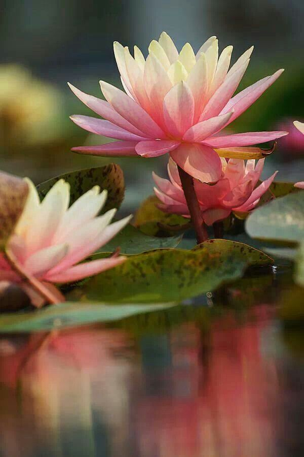 Flor de loto.: Waterlily, Lotus Flowers, Waterlilies, Beautiful, Beauty, Water Lily, Flowers Garden, Water Lilies, Lily Reflection